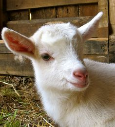 5 Best Dairy Goat Breeds for the Homestead. Alpines are my personal favorite.