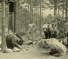 Extinct bear of North America - Mexican grizzly bear; Mexico grizzlies were smaller than the grizzly bears in the United States and Canada. The general color was pale buffy yellowish varying to grayish-white, grizzled from the darker color of the underfur.