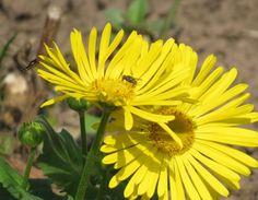-neuer Gartentraum- Gelbe Gämswurz(Doronicum)