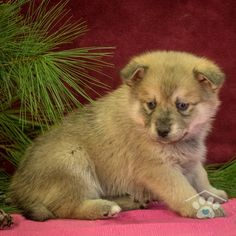 ADOPTED - Hi, my name is Bosco. I'm a fun loving male Pomsky puppy. I am full of life and energy. I can run with the best of them. I will run right up to nap time. I do well with people of all ages.Take me home now!