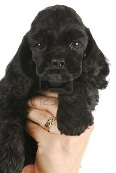cute puppy - hand holding black american cocker spaniel puppy - 6 weeks old