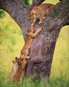 Climbing Cubs. Photography by @ (Mohammed Alnaser). A cub is trying to follow his mom over the tree where she was resting, climbing trees is not a very common behavior of lions but they can do it well specially when it comes to moving up to rest and...