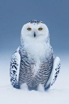 500px: Snowy Owl Heaven ~ By Rick Dobson » <3