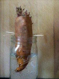 Growing sweet potato vine