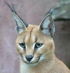 ♥WC♥ 248 caracat | Eine Wildkatze für das Wohnzimmer? Interview zur Caracat-Zucht
