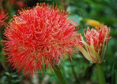 Vérvirág 1 - Scadoxus multiflorus (novenytar.krp.hu) - Forrás: http://www.flickr.com/photos/challiyan/