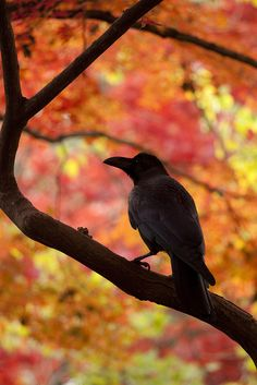 Raven in Autumn