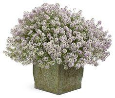 Blushing Princess® - Sweet Alyssum - Lobularia hybrid