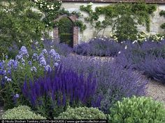 Pretty English Walled Garden - Beds of Nepeta Six Hills Giant, Campanula lactiflora Pritchard s Variety, Valerian, Salvia x sylvestris Mainacht, Hebe, and gold Korresia and white Madame Hardy roses