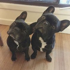 """Hmmmm?"", inquisitive French Bulldogs."