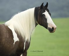 Gypsy Vanner mare   |    Photo:  Mark Barrett