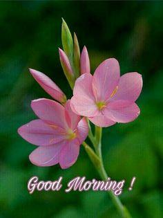 Schizostylis coccinea 'sunrise' by RonGrn Exotic Flowers, Amazing Flowers, Pretty Flowers, Blossom Garden, Blossom Flower, Flower Pictures, Flower Wallpaper, Ikebana, Spring Flowers