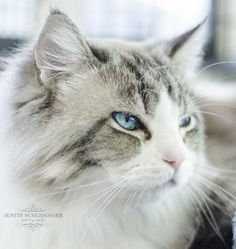 Hi there, I'm Princess. I am a large, 5 year old, altered female cat. I'm a Lynx Point Ragdoll, which means I a medium length coat that is mostly white with some tabby striping as well as soulful blue eyes. I'm a sweet girl who likes to be petted and to just lounge around with my favorite person. Another thing I really do enjoy is getting my belly rubbed! Please ask for me, Princess (A568955).