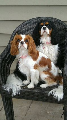 Cavalier King Charles Spaniel – Graceful and Affectionate Cavalier King Charles, Cavalier King Spaniel, King Charles Puppy, King Charles Spaniel, Spaniel Breeds, Spaniel Puppies, Puppies And Kitties, Cute Cats And Dogs, Adorable Dogs