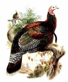 Wild Turkey - Meleagris gallopavo