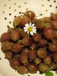 Gilbert's superb gooseberry gin recipe (I also added a couple of tablespoons of elderflower cordial to half the batch) Gooseberry Gin, Gooseberry Plant, Gooseberry Recipes, How To Make Gin, How To Make Drinks, Food To Make, Gin Recipes, Smoothie Recipes, Smoothies