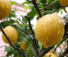 Siğillerden ve Sivilcelerden Limon Yağı ile Kurtulun!Günlük hayatın birçok alanında kullanılan limon yağı, sağlığa ve güzelliğe birçok yararı olduğu için güzelleşmek ve sağlıklı kalmak isteyenler tarafından kullanılabiliyor.    Yazının Devamı: Siğillerden ve Sivilcelerden Limon Yağı ile Kurtulun! | Bitkiblog.com  Follow us: @BİTKİ BLOG on Twitter | Bitkiblog on Facebook