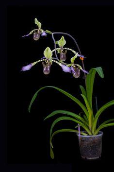 Slipper-orchid: Paphiopedilum lowii