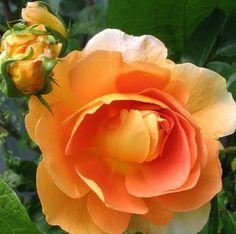 """Rose """" Pat Austin ™ """" , (AUSmum) , bred by David C. H. Austin (United Kingdom, before 1993)"""
