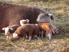 hereford hog sow + piglets