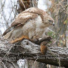Hawk With Prey; Wildlife Photography, Fine Art Photography, Hawk Photos, Red Tailed Hawk, Photo Walk, In The Tree, Predator, Bald Eagle, Squirrel