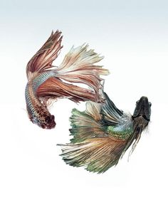 Contemplez la grâce sublime des poissons combattants à travers leur danse envoûtante