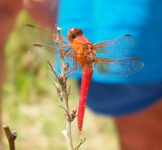 #Dragonfly | #Dragonflies | #Red