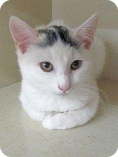 Adopt a Pet :: Photo 1: Angel - Riverhead, NY -  Domestic ShorthairMix