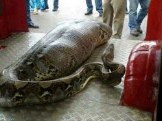 Python Who Ate A a Drunk Person Lying Down By A Liquor Store