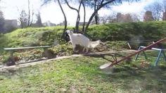 Rottweiler VS Borzoi - Russian wolfhound #ViralDogMoments