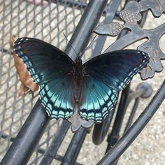 The beauty was flitting all around the pool this afternoon. #butterfly #critter #pretty #nofilter #insect #black #blue #aqua #teal #silverlox