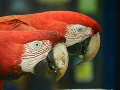Pantanal: ara's