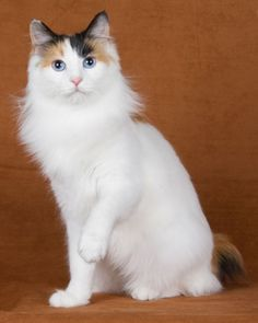 Japanese Bobtail is a healthy domestic cat breed.Japanese Bobtail Cats have good long lifespan. Japanese Bobtail, Japanese Cat, Cool Cats, I Love Cats, Crazy Cats, Warrior Cats, Pretty Cats, Beautiful Cats, Pretty Kitty