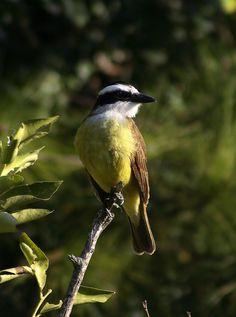 Pithangus Sulphuratus. Conocido como Benteveo. Uruguay - Argentina