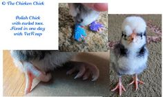 How to fix curled toes in baby chicks. ~The Chicken Chick