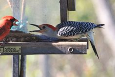 Red-bellied woodpecker scolding a male Cardinal.