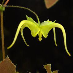 Epimedium lishihchenii -- freakishly cool.