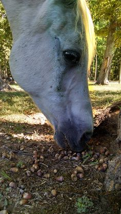 Eating acorns. Sept. 2016 Eating Acorns, Natural Horsemanship, Horses, Nature, Animals, Animales, Animaux, Horse, The Great Outdoors
