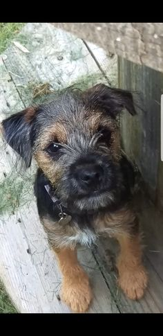 Dogs I want ❤️ Border Terrier Puppy, Terrier Puppies, Cairn Terrier, Cute Puppies, Dogs And Puppies, Cute Dogs, Doggies, Animals And Pets, Cute Animals