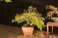 Information on growing Japanese Maple Trees in containers.
