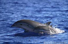 Fraser's Dolphin (Lagenodelphis hosei) by quarrresma / João Quaresma, via Flickr
