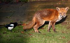An urban fox is harried by a magpie as it looks for food in a Birmingham garden  Picture: David Jones/PA