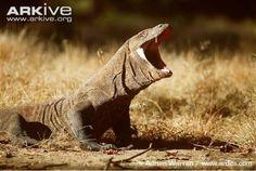 Dragão de Komodo em seu habitat natural. Créditos: © Adrian Warren / www.ardea.com