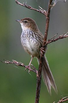 The New Zealand Fernbird or simply Fernbird (Megalurus punctatus) is an insectivorous bird endemic to New Zealand. T