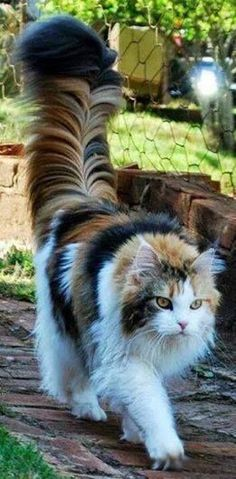 Lovely! http://www.mainecoonguide.com/male-vs-female-maine-coons/