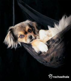 Miss Ellie (Tibetan Spaniel) - Elegant Miss Ellie was well rehearsed in the art of relaxing.