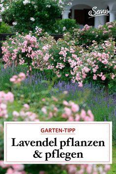 Es gibt nur wenige Punkte, die man beachten muss, dann sprießt das duftende Wunder Jahr für Jahr in Hülle und Fülle. Lesen Sie hier nach, wie es geht. #lavendel #gartenwissen #gartentipp Planting Lavender