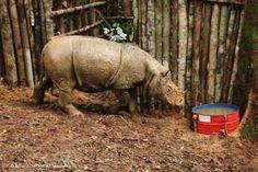 Picture of a sumatran rhino