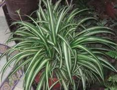 Spider Plant: this plant can remove up to 90 percent of the toxins in your indoor air. Top 10 NASA Approved Houseplants for Improving Indoor Air Quality Indoor Office Plants, Indoor Garden, Indoor Plants, Ficus, Plantas Indoor, Water From Air, Chlorophytum, Spider Plants, Indoor Air Quality