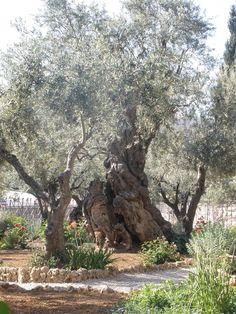 Garden Of Gethsemane In Jerusalem...Where Jesus Prayed & Sweat Blood